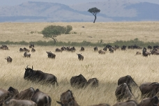 The Great Migration, Masai Mara, kenya