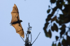 Bat flying, Cambodia
