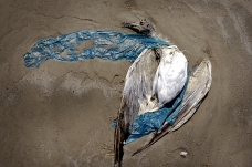 Dead seagull, Galveston beach, Texas, U.S.A